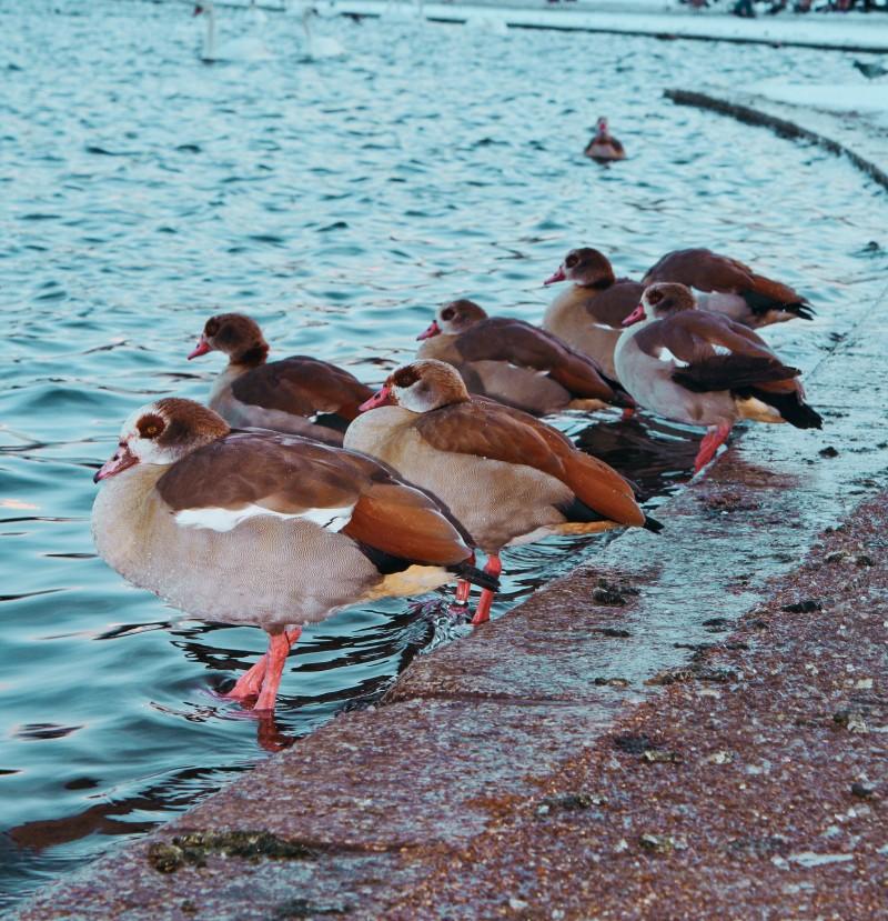 Hyde park, canard